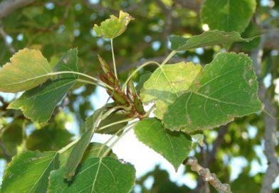 Pelesenk Ağacı Nedir? Özellikleri Nelerdir?